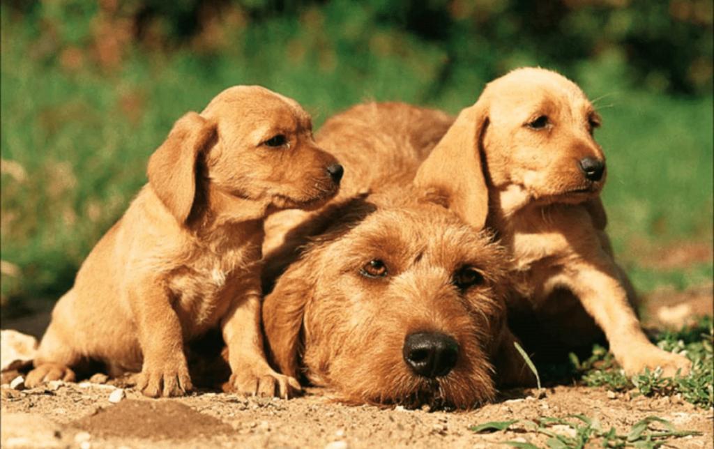 самка бретонского бассета со щенками