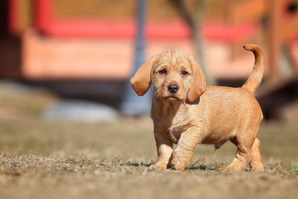 рыжий бретонский бассет щенок