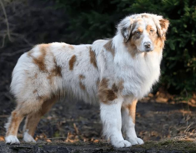 австралийская овчарка аусси
