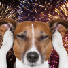 собака и фейерверк