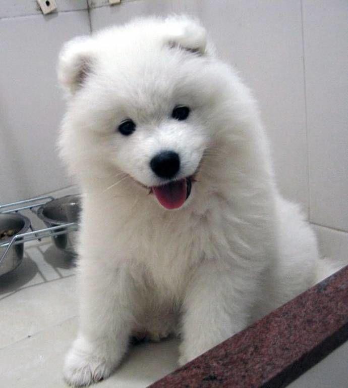 Японский шпиц малыш-медвежонок