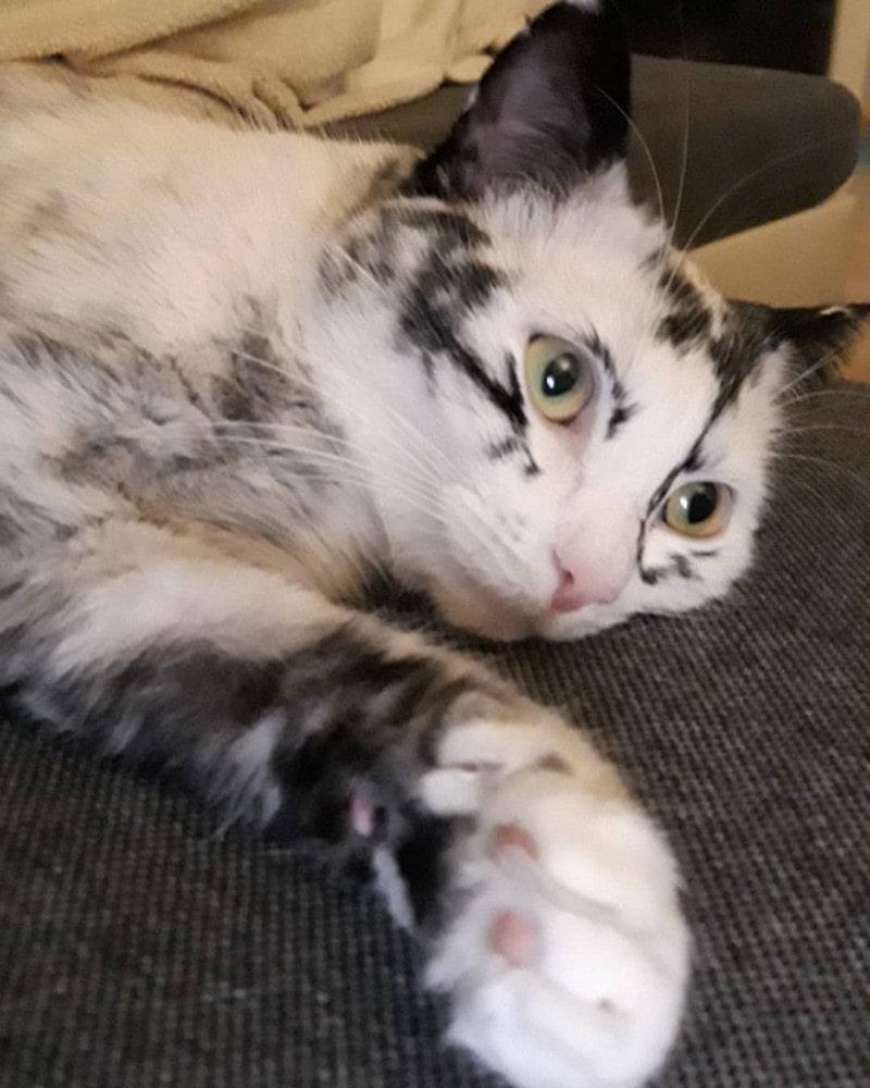 побелевшая кошка с витилиго