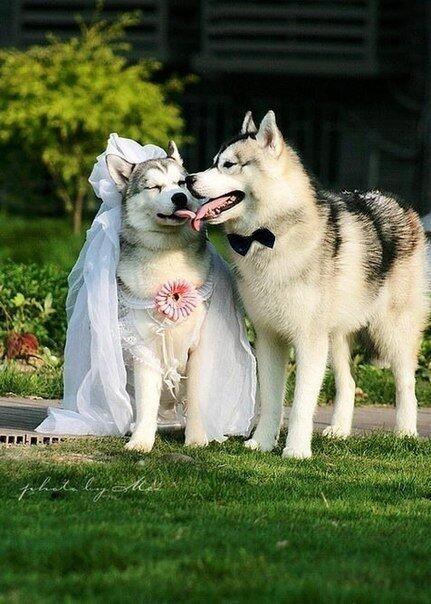 свадьба хаски