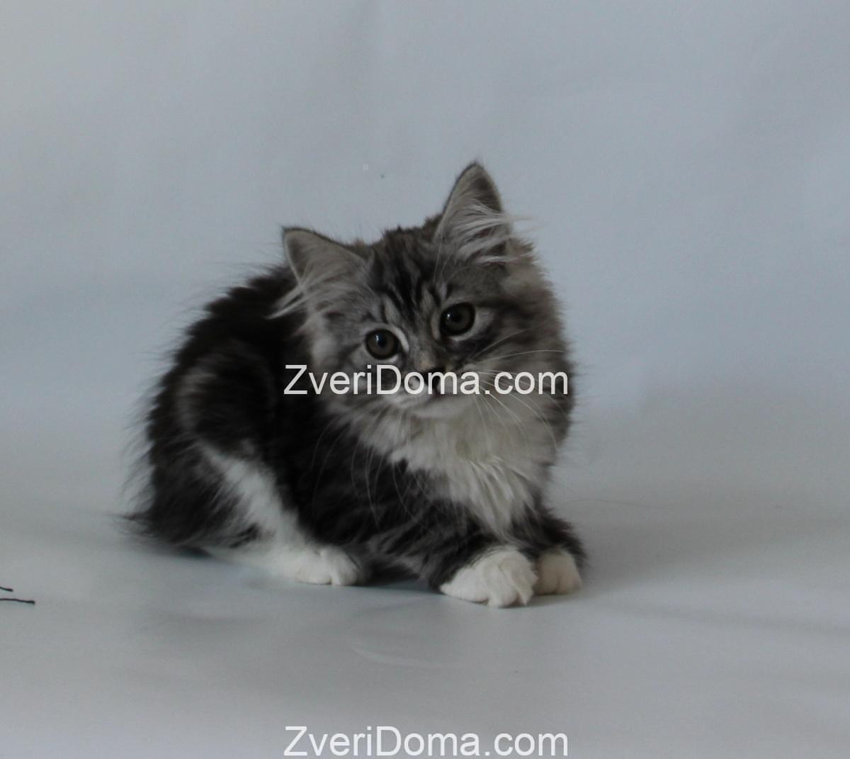 Котенок-сибиряк