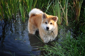 акита bye в воде