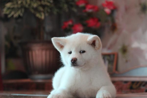 щенок белой акиты ину