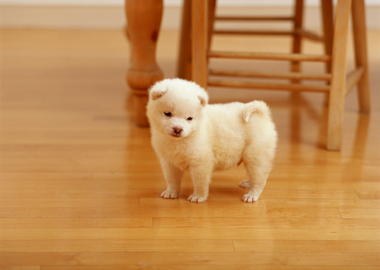щенок белой акиты