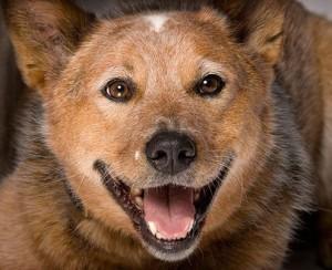 пастушья собака улыбка
