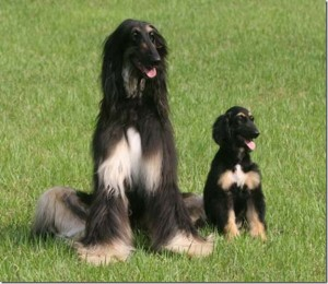 Afghan_Hound_with_baby
