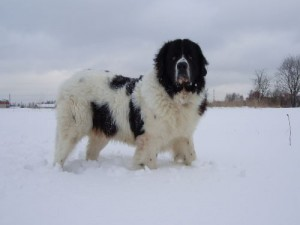 Болгарская овчерка (каракачанская собака)