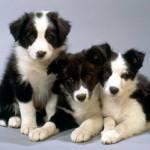 Бордер колли три щенка