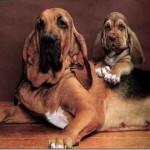 бладхаунд со щенком
