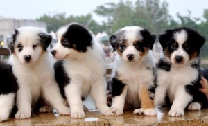 австралийские овчарки щенки