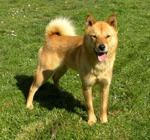 Айну (хаккайдская собака)