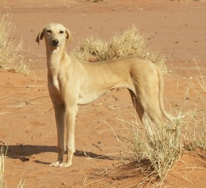 азавак в пустыне фото