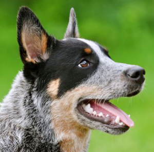 короткохвостая пастушья собака мордочка