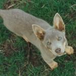 серый австралийский келпи щенок