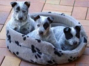 щенки австралийской короткохвостой пастушьей собаки