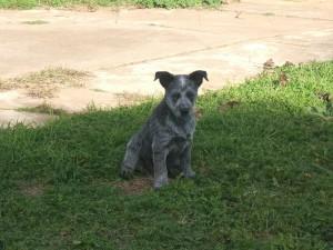 small-australian-stumpy-tail-cattle-dog-photo