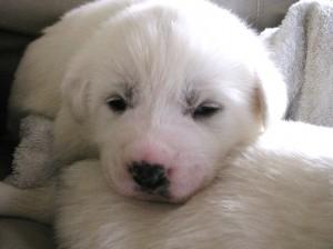 маленький щенок акбаша