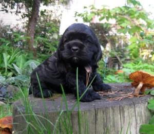 американский кокер-спаниель черный щенок
