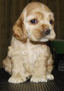 американский кокер-спаниель щенок