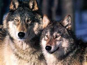 волки-собаки