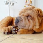 шарпей спит мордочка