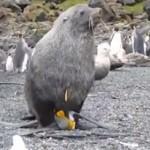 морские котики насилуют пингвинов