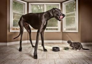 немецкий дог - зевс - саммая большая собака в мире