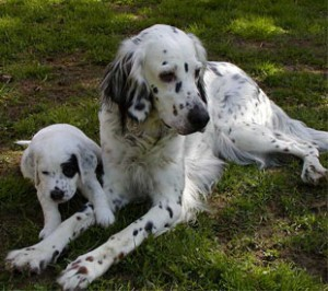 english_setter_mother&baby