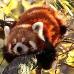малая панда спит