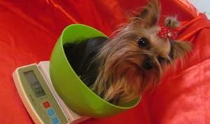 муха - самая маленькая собака россии
