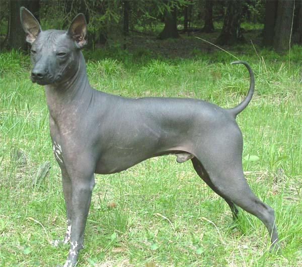 Голая мексиканская собака