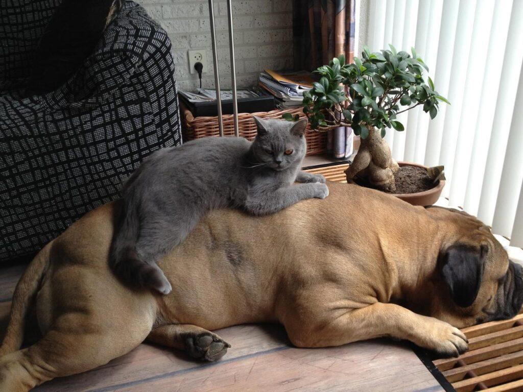 Бульмастиф с кошкой