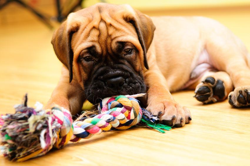 щенок бульмастифа с игрушкой