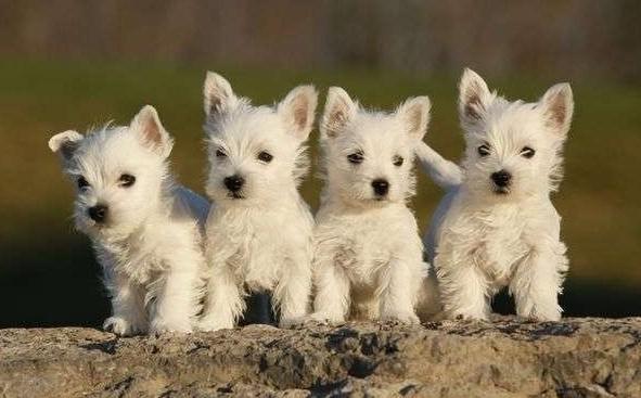 Вест терьер (West Highland White Terrier)