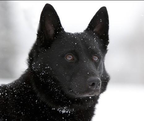 Норвежский эльгхунд черный