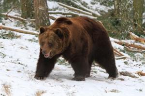 Самая старая в мире медведица Варвара