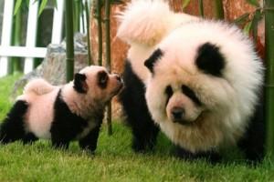 собачки-панды