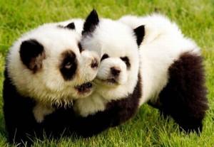 Собаки-панды — фальсификация из Италии