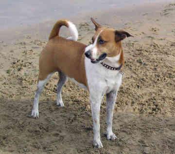 Арубская деревенская собака