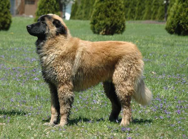 Эштрельская длинношерстная овчарка