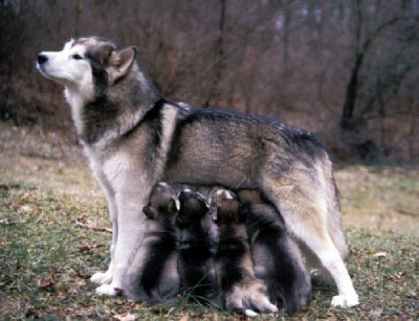 аляскинский маламут-кормящая мама