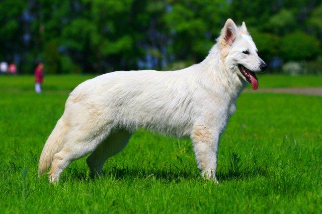 американская белая овчарка