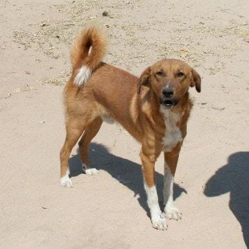 арубская деревенская собачка
