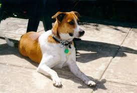 арубская собака