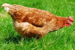 курица Джигго - миллиорнерша