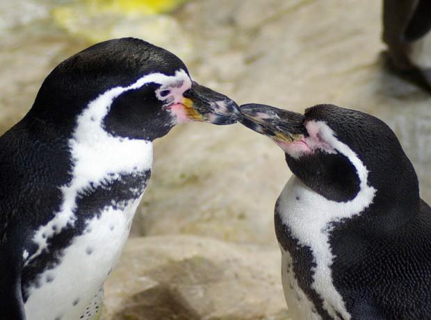 пингвины клюв целуются