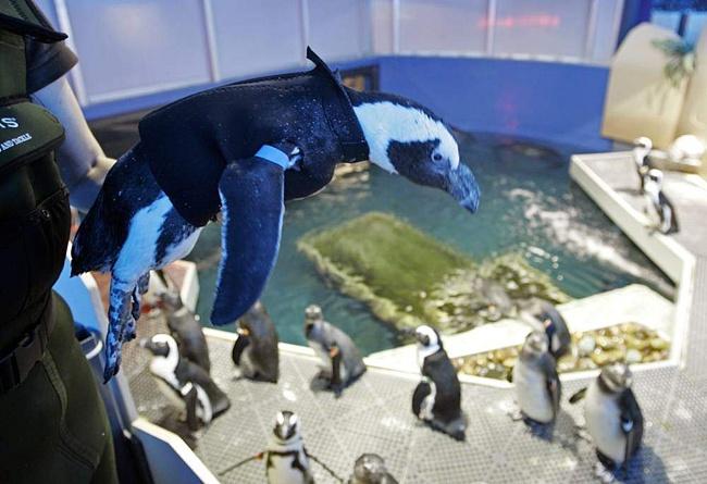 пингвин с протезом клюва2